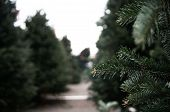 A View of a Christmas Tree Row