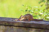 stock photo of chipmunks  - picture of the Eastern chipmunk (Tamias striatus) closeup