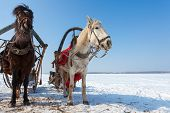 stock photo of harness  - Two horses with bridle and harness at the countryside in winter - JPG