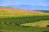 Green Tea Plantation And Cosmos Flowers And Blue Sky Background.