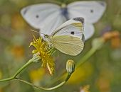 butterfly pollinating wild daisy flower