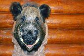 Closeup Stuffed Wild Boar Head With Big Fangs Hanging On Wooden Wall Log