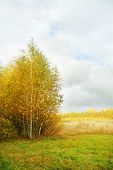 Yellow Small Birches On Edge Of Forest And Meadow With Dry Grass At Autumn Day