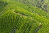 Longji rice fields