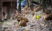 Young Deer at Chiang mai zoo, Thailand