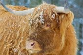 pic of highland-cattle  - Scottish Highland facing to the right with head turned to the left in winter - JPG