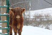 foto of highland-cattle  - Scottish Highland calf standing beside fence in the winter - JPG