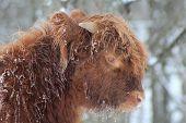 arching highland calf
