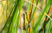 Two Grasshopper Mating