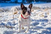 French bulldog portrait on the snowy valley