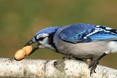 image of blue jay  - Close - JPG