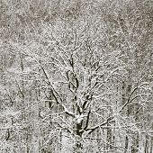 Snowbound Oak In Forest After Winter Snowfall