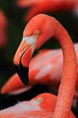 Detail Of Red Flamingo Head