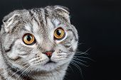 Portrait Of A Young Scottish Fold Cat