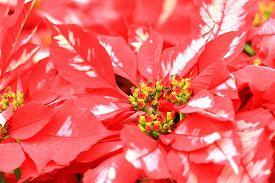picture of poinsettia  - Poinsettia flowers - JPG