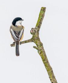pic of chickadee  - Black - JPG