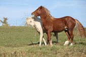stock photo of stallion  - Two young stallions playing together on pasturage - JPG