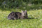pic of cute tiger  - cute tiger cat relaxes at the green grass in the sun - JPG