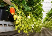 foto of hydroponics  - Closeup of blossoming and ripening strawberries hanging in a modern glasshouse specialized in hydroponic strawberry cultivation on substrate.
