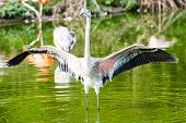 picture of greater  - The greater flamingo is found in Africa Asia and Europe - JPG