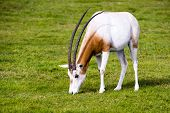 pic of antelope horn  - Scimitar-horned Oryx in the wild. This spiral-horned antelope