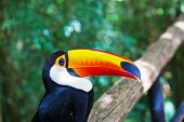 picture of toucan  -  Large bird with bright plumage and a huge yellow beak - JPG