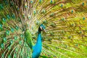 picture of indian peafowl  - The Indian peafowl male displaying - JPG
