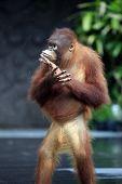 stock photo of orangutan  - Young orangutan in island  Bali zoo - JPG