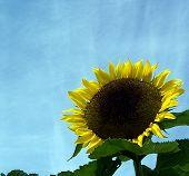 Sunflower Against A Vibrant Blue Sky