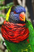 foto of hairy tongue  - Brightly colored Lorikeet photographed at the San Diego Wild Animal Park