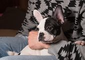 stock photo of lap  - Puppy french bulldog in the lap of a person at home - JPG