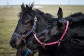 stock photo of stallion  - Beauty foal  - JPG