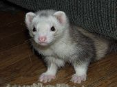 Male Silver Mitt Ferret