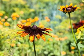 picture of black-eyed susans  - Rudbeckia or Black Eyed Susan flower in the summer garden - JPG