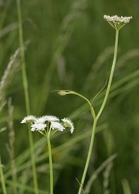 picture of rare flowers  - Corky-fruited Water-dropwort - Oenanthe pimpinelloides Rare wet grassland flower - JPG