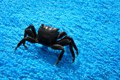 Black Crab on a towel summer background