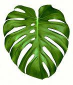 Monstera Leaf.