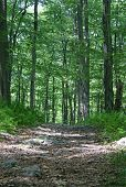 foto of trailblazer  - Beautiful pathway and green Forest in the Delaware Water Gap - JPG