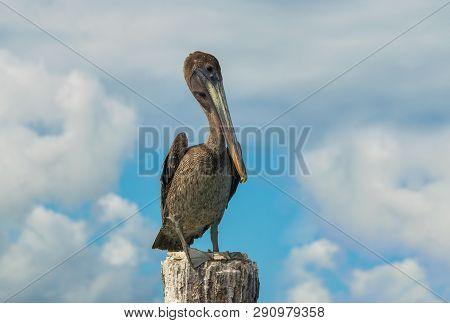 Close Up Of A Pelican