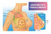 Breast Anatomy Vector Illustration. Labeled Medical Female Organ Structure. Infographic Diagram With poster