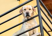 Labrador Retriever Looking Through A Metal Railing From The Balcony. poster