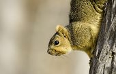 Hill Country Squirrel