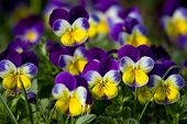picture of violet flower  - Wild violets - JPG