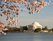 Cherry Blossom And Jefferson Monument poster