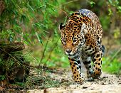 picture of ocelot  - Jaguar - JPG
