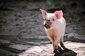 The Dirty Cute Little Pig Is Standing Alone On Gray Shadow Background. poster