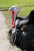 The Wild Turkey. Domestic Bird. Photo Of A Rare Breed Turkey. poster