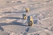stock photo of polar bears  - Polar bear leading her cubs across the snow in the Canadian Arctic - JPG