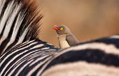 foto of ox-pecker  - Red billed - JPG