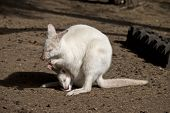 The Mother Albino Wallaby Is Eating With A Baby Joey In Her Pouch poster